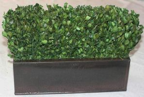 14 inch   Boxwood Hedge